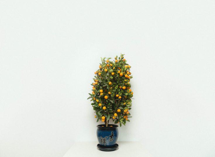 Manual Pick: Kojo Plant Orange Tree